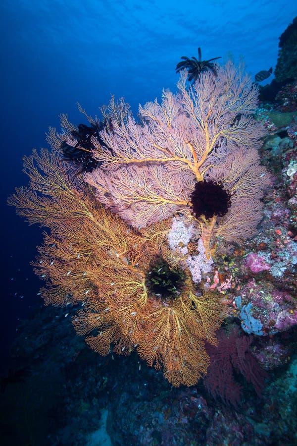Colônia de Gorgonian e na rocha, ilha de Similan, mar de Andaman fotografia de stock royalty free