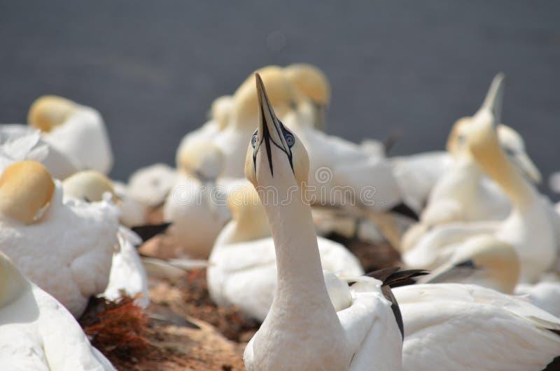 Colônia do albatroz do norte (bassanus do Morus) foto de stock royalty free