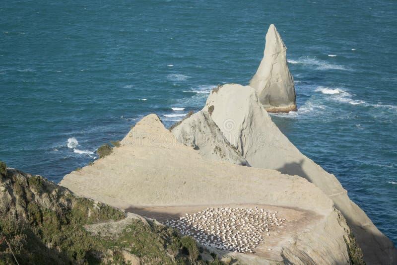 Colônia do albatroz em raptores do cabo fotografia de stock