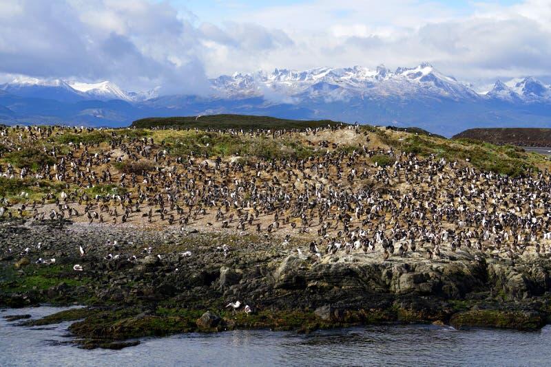 Colônia do albatroz em Ushuaia fotografia de stock royalty free