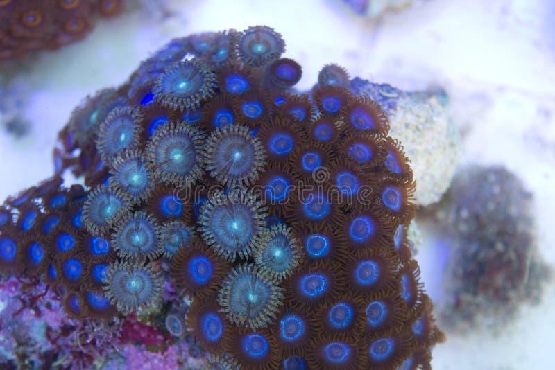 Colônia do coral dos pólipos azuis de Zoanthid e de Palythoa fotografia de stock