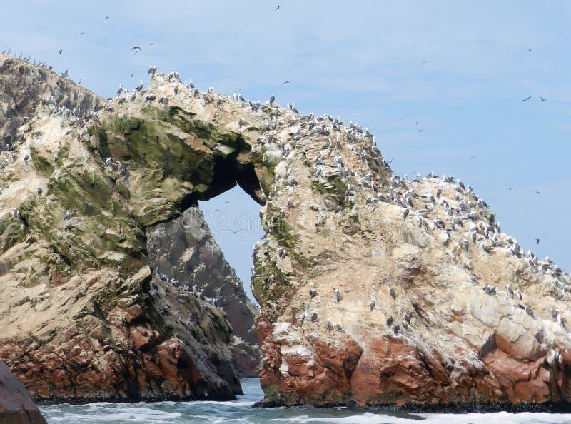 Colônia do papagaio-do-mar atlântico em peru imagens de stock