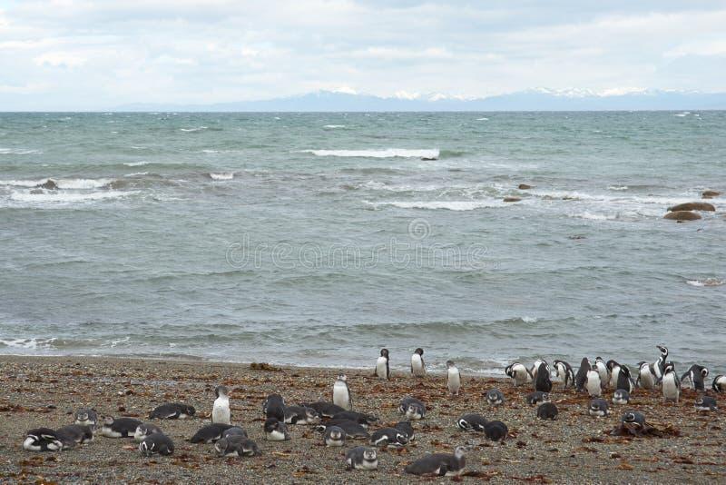 Colônia do pinguim em Punta Arenas fotografia de stock