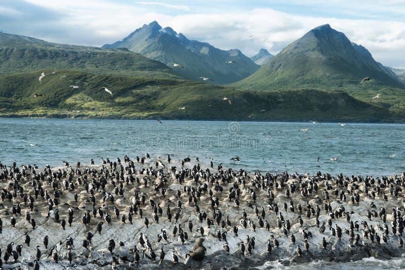 Colônia do rei Cormorants On Ilha Dos Passaros Located no canal do lebreiro, Tierra Del Fuego fotografia de stock