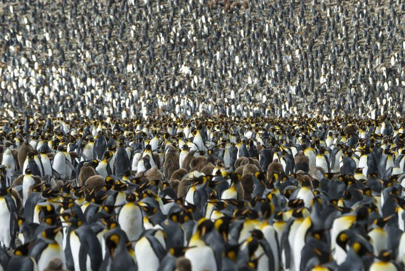 Colônia dos pinguins de rei em Geórgia sul fotos de stock royalty free