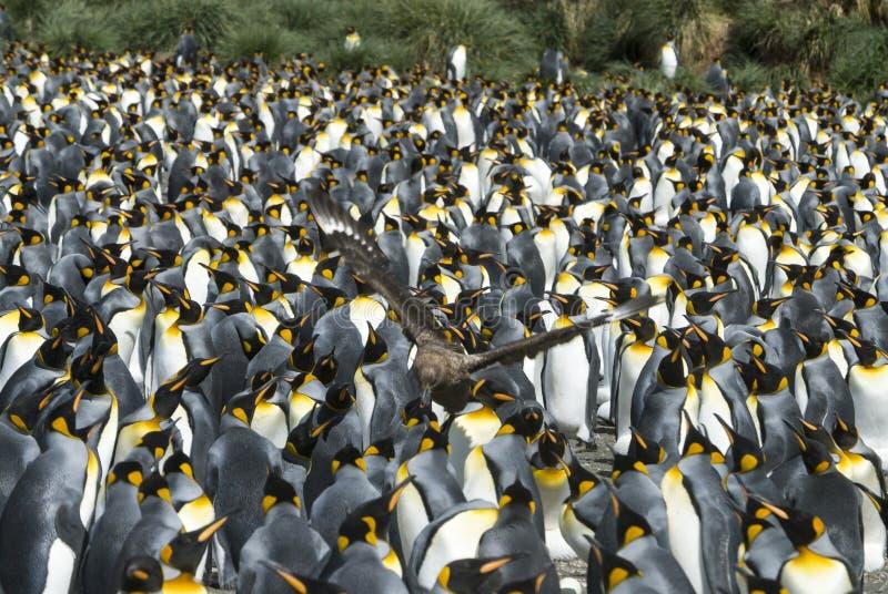 Colônia dos pinguins de rei em Geórgia sul fotografia de stock