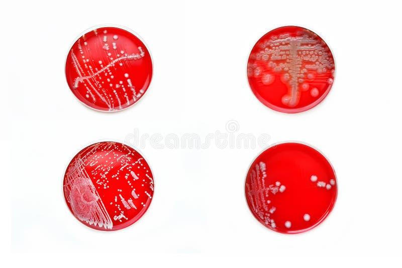 Colônias das bactérias imagem de stock