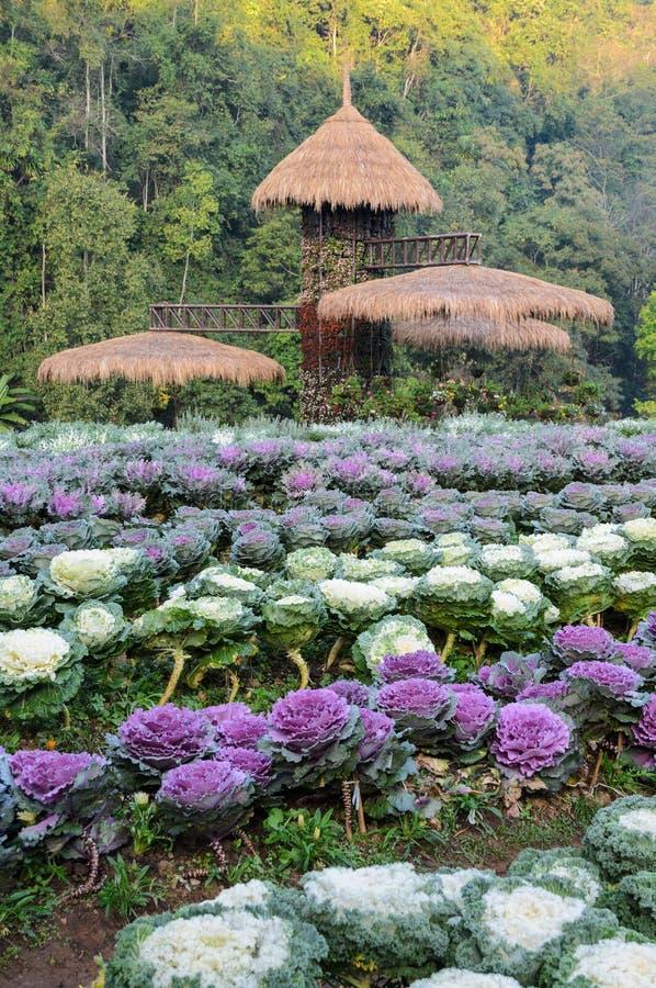 Col ornamental y jardín floreciente de la col rizada foto de archivo libre de regalías