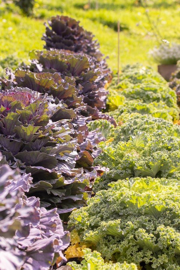 Col púrpura y filas rizadas, rectas de las verduras del jardín, vertical foto de archivo libre de regalías
