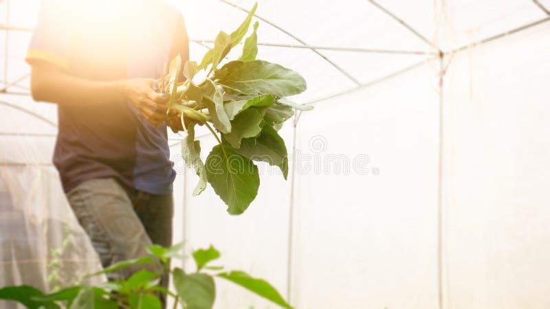 Col rizada china orgánica de la imagen de la cosecha suave del hombre en el invernadero NU fotografía de archivo