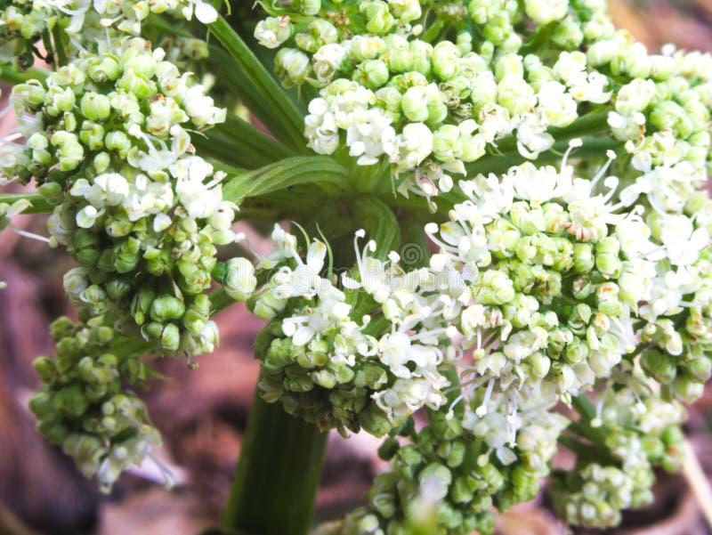 Col rizada de las flores blancas foto de archivo