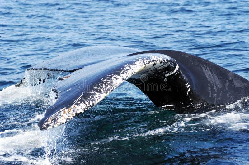 Cola 3 de la ballena de Humpback imagen de archivo