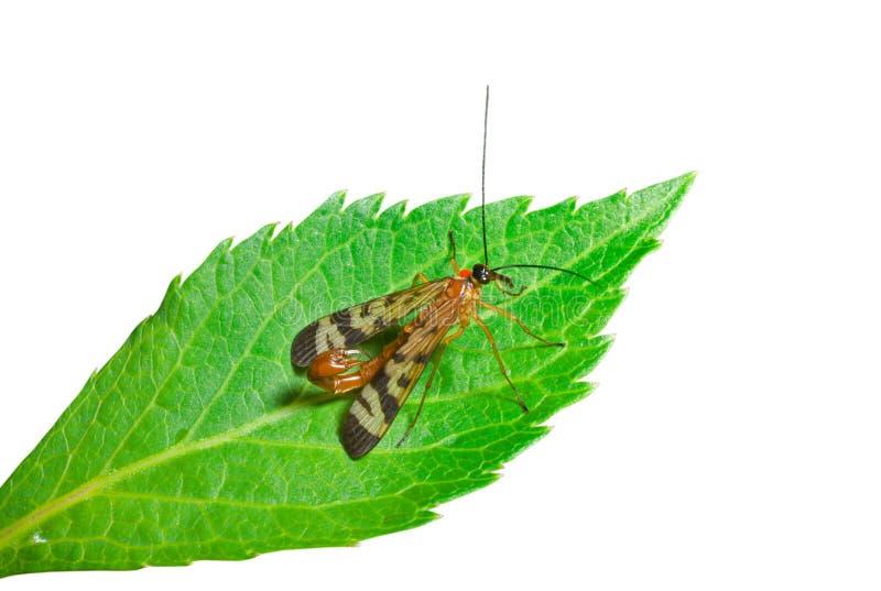 Cola 5 del escorpión del insecto imagen de archivo