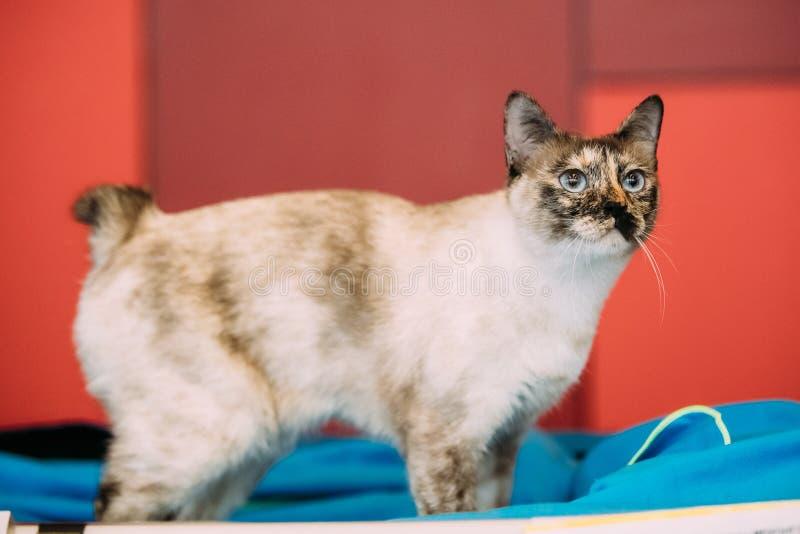 Cola cortada Cat Kitten Indoor del Mekong imagen de archivo