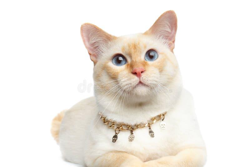 Cola cortada hermosa Cat Isolated White Background del Mekong de la raza fotos de archivo libres de regalías