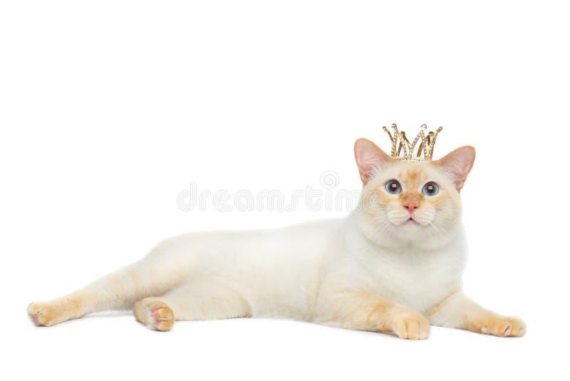 Cola cortada hermosa Cat Isolated White Background del Mekong de la raza foto de archivo libre de regalías