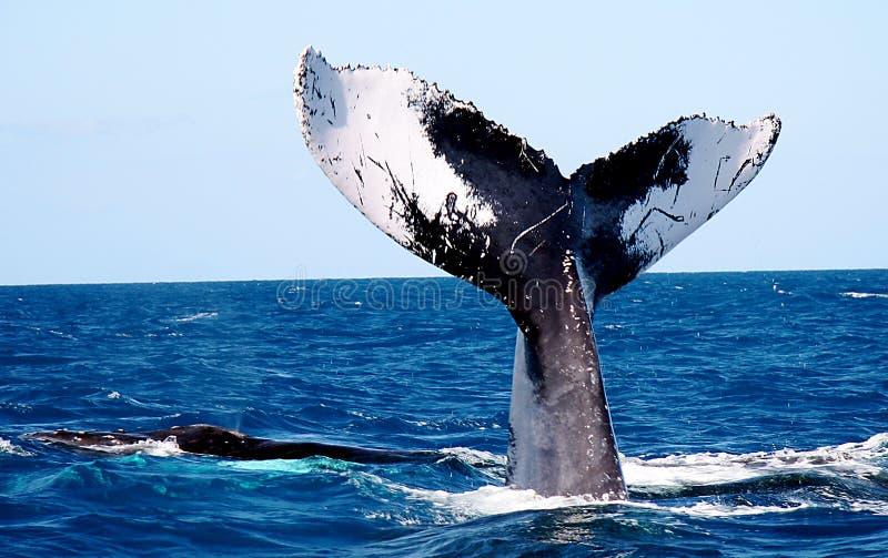 Cola de la ballena imágenes de archivo libres de regalías