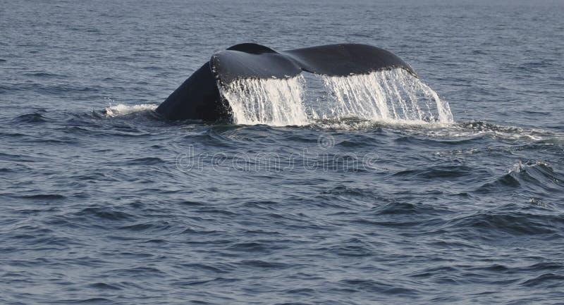 Cola de la ballena fotos de archivo
