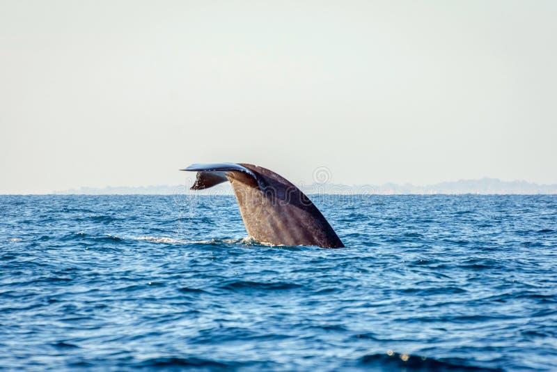 Cola de la ballena azul fotos de archivo