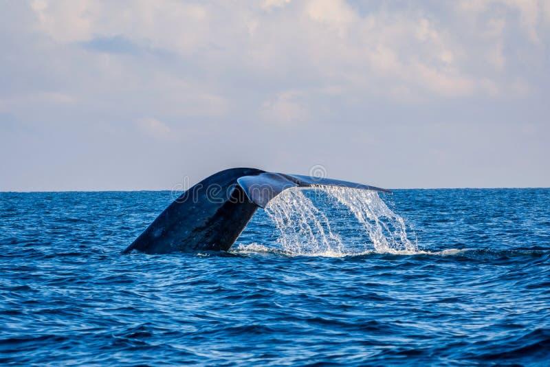 Cola de la ballena azul imagen de archivo libre de regalías