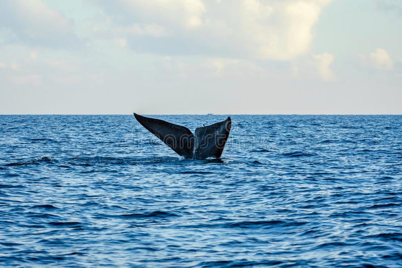 Cola de la ballena azul imágenes de archivo libres de regalías