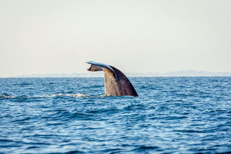 Cola de la ballena azul foto de archivo