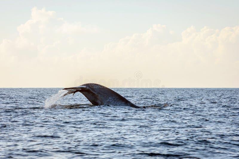 Cola de la ballena azul imagen de archivo