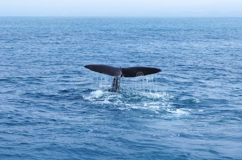 Cola de la ballena de esperma imagenes de archivo
