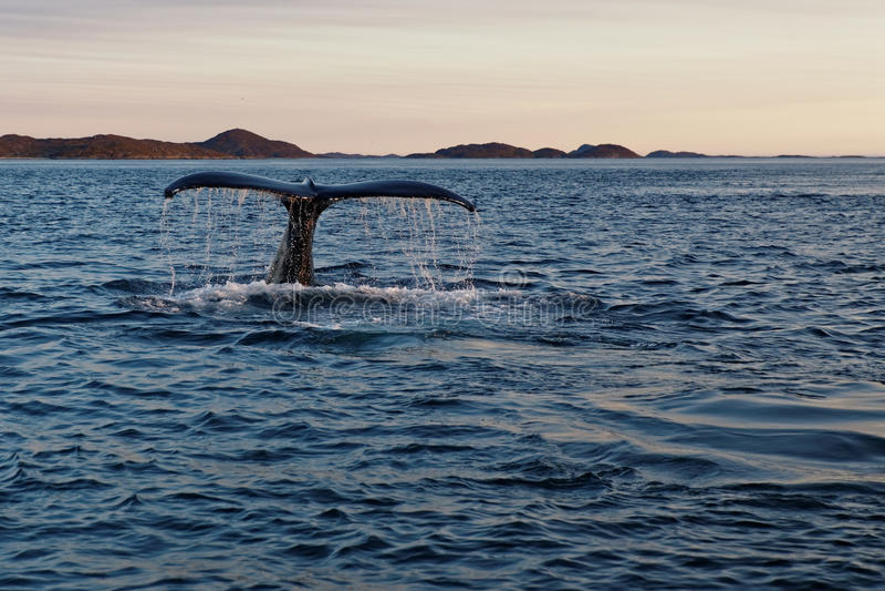 Cola de la ballena del salto foto de archivo libre de regalías