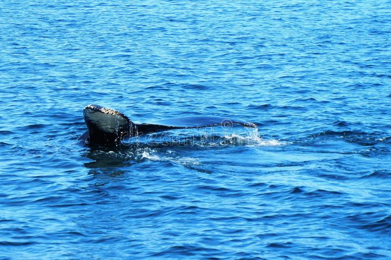 Cola de la ballena en agua azul fotografía de archivo libre de regalías