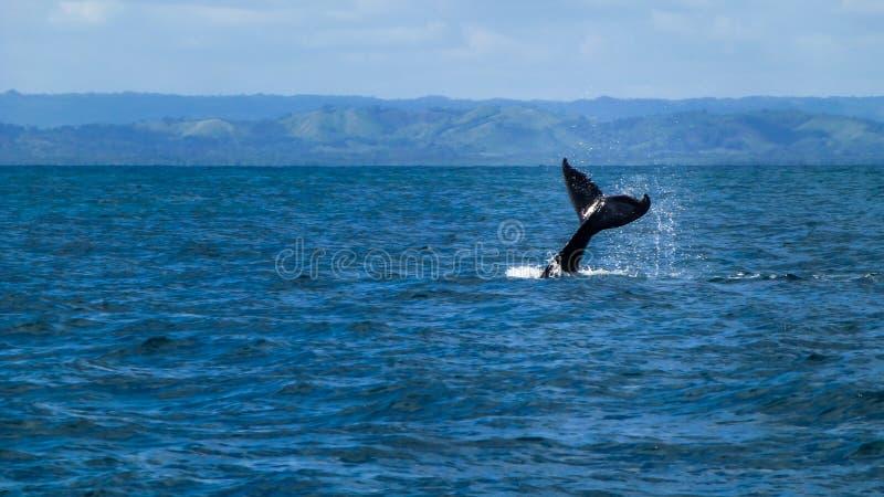 Cola de la ballena jorobada fotografía de archivo libre de regalías
