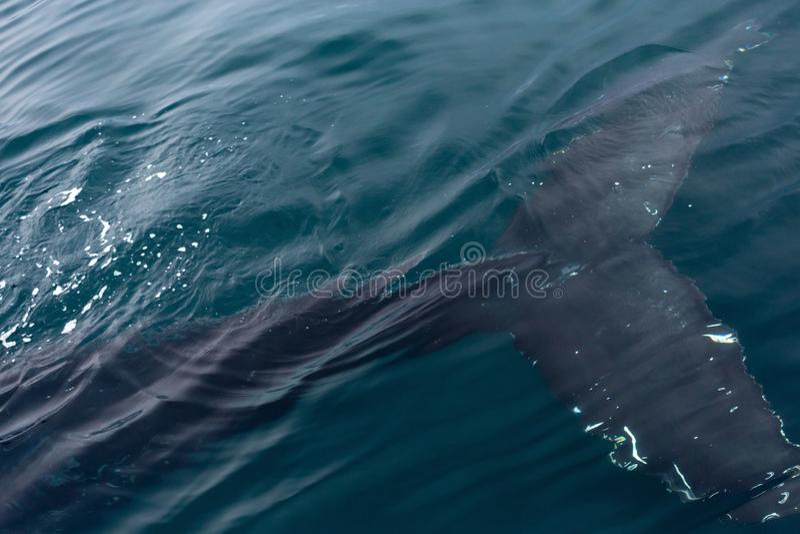 Cola de la ballena jorobada foto de archivo libre de regalías