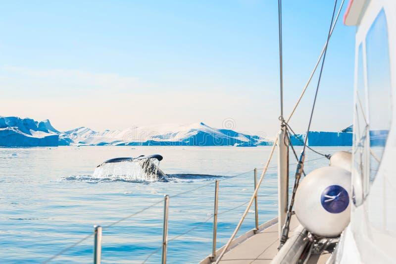 Cola de la ballena jorobada cerca del yate en el fiordo del hielo de Ilulissat, Groenlandia occidental fotografía de archivo libre de regalías