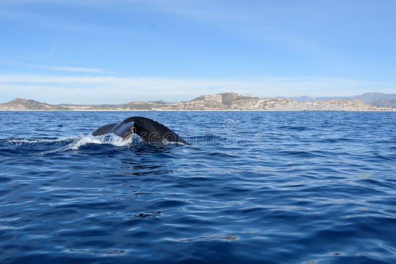 Cola de la ballena jorobada del salto, Cabo San Lucas imagen de archivo libre de regalías