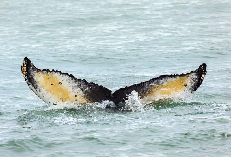 Cola de la ballena jorobada en el Océano Pacífico Área del agua cerca de la península de Kamchatka fotografía de archivo