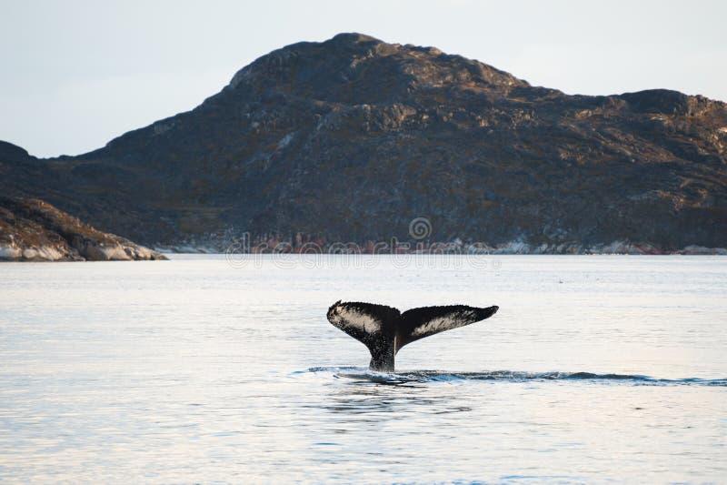 Cola de la ballena jorobada, Groenlandia fotografía de archivo libre de regalías