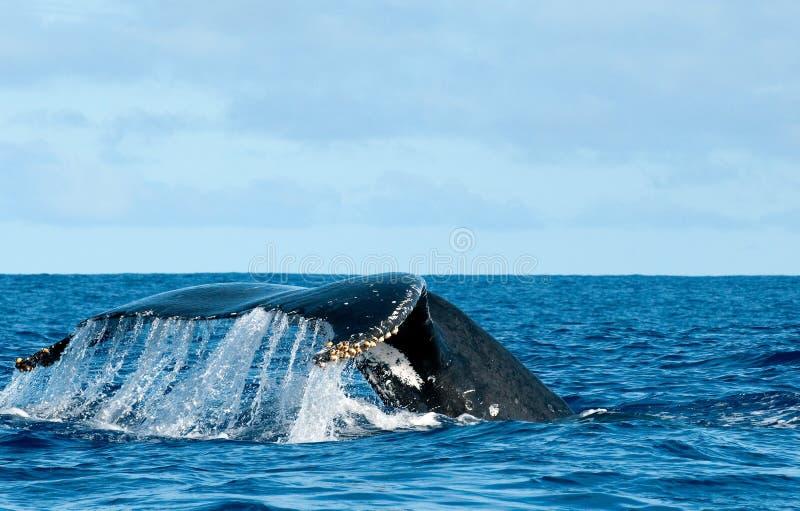 Cola de la ballena jorobada que entra abajo en el mar polinesio azul imagenes de archivo