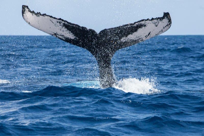Cola de la ballena jorobada que volea desde muy alto en superficie fotografía de archivo