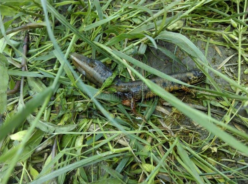 Cola de la salamandra fotos de archivo