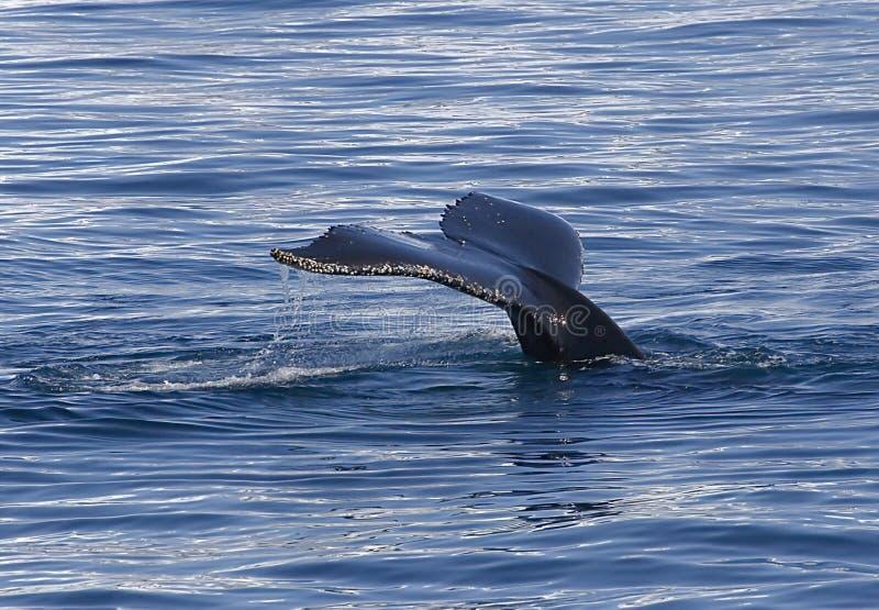 Cola del humpback imagen de archivo libre de regalías