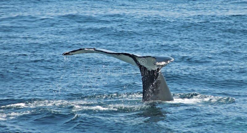 Cola del ` s de la ballena fuera del agua fotos de archivo