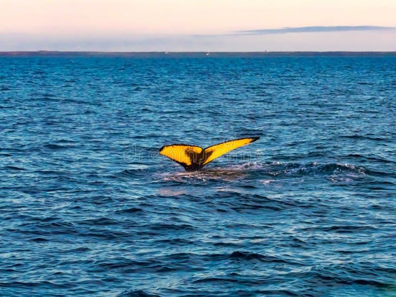 Cola del salto de la ballena jorobada en el mar azul imagenes de archivo