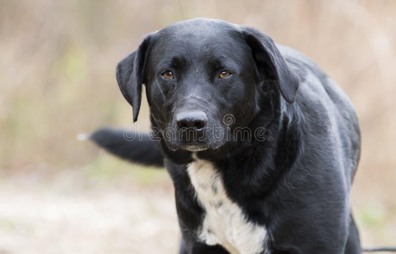 Cola que menea del laboratorio del border collie del perro negro de la mezcla imagen de archivo libre de regalías