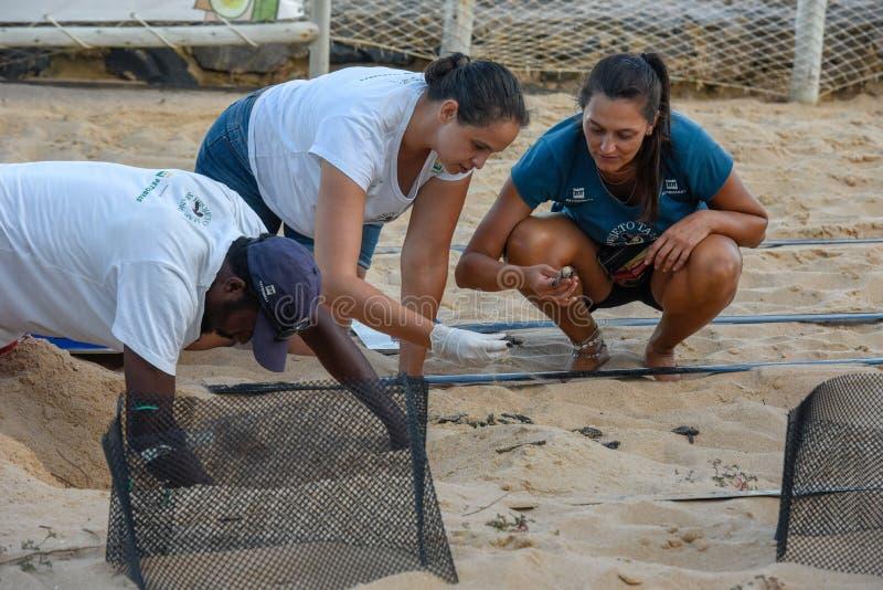 Colaboradores animalistas durante la colecci?n de tortugas reci?n nacidas en el proyecto de Tamar en el Praia hacer Forte en el B imagen de archivo libre de regalías