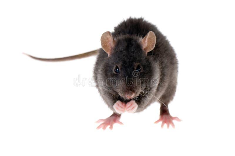 Coladas de la rata imagen de archivo libre de regalías