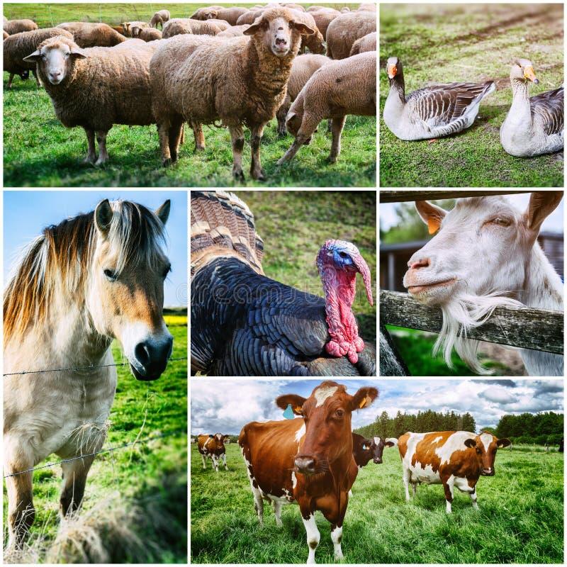 Colagem agrícola com os vários animais de exploração agrícola imagens de stock