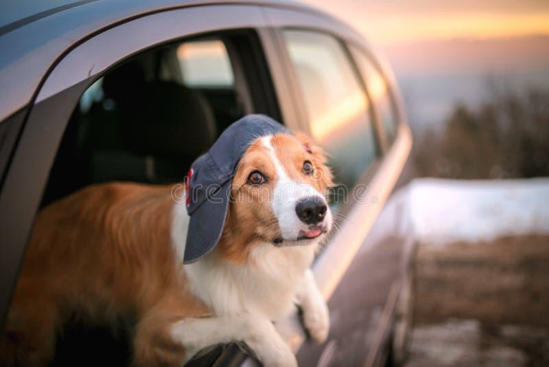 A colagem bonito do cão dirige para fora a janela de carro foto de stock