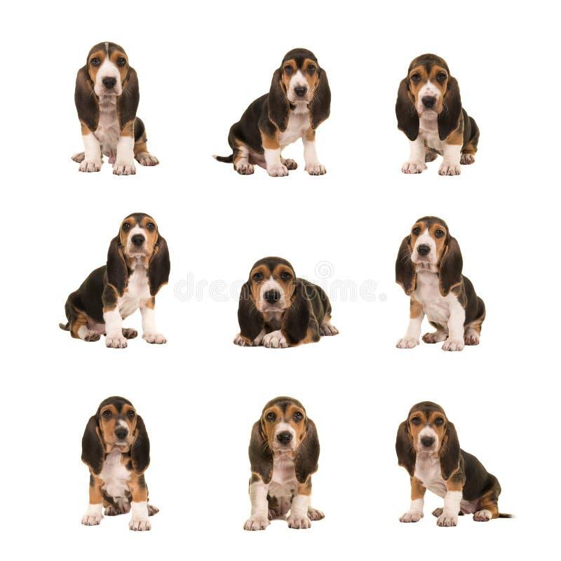 A colagem com o basset nove diferente artesien cães de cachorrinho do normand foto de stock