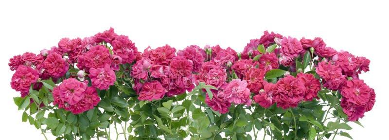 Colagem cor-de-rosa da beira das rosas imagem de stock
