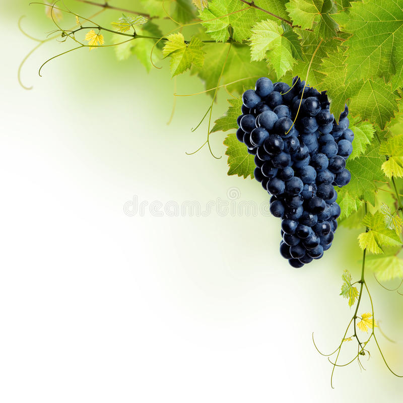 Colagem das folhas da videira e da uva azul imagens de stock